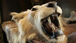 Espèces menacées: pourquoi ne pas interdire la chasse aux trophées?