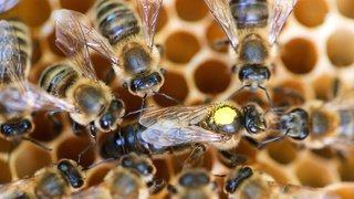 Insecticide: un produit interdit provoque la mort de centaines de milliers d'abeilles en Suisse
