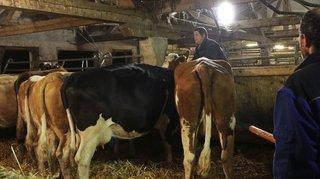 Désalpe: les vaches quittent l'alpage de La Baronne