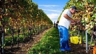 Malgré de belles vendanges, le monde viticole est inquiet