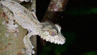 Equateur: deux nouvelles espèces de geckos identifiées aux Galapagos