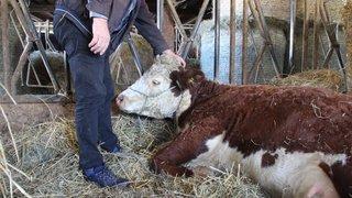 Dizy: des bovins dévorés par des bêtes sauvages