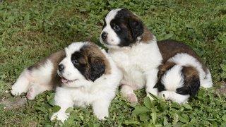 Biologie: les chiens savent reconnaître un même mot prononcé par des inconnus