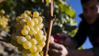 Nouvelle ordonnance sur le vin: les vignerons encaveurs indépendants fâchés contre Berne